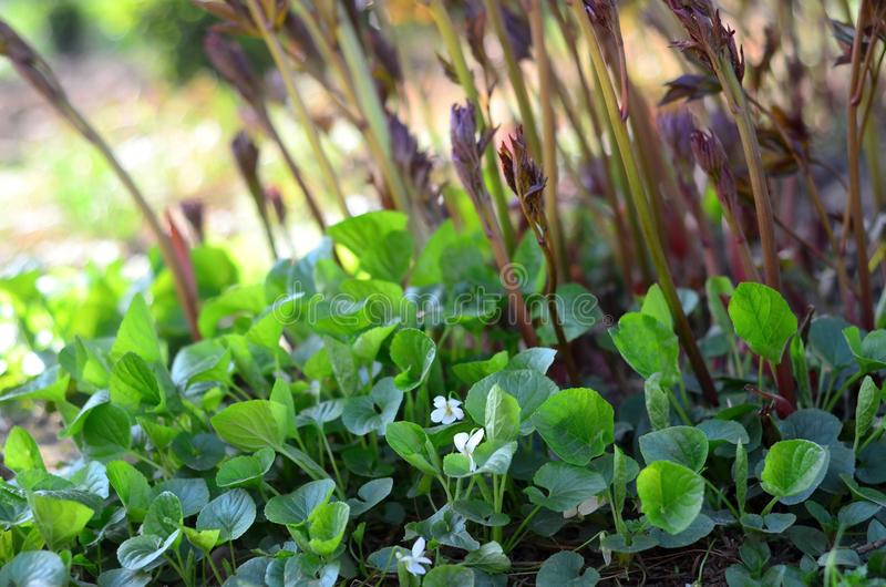 White sweet violets and peony sprouts stock photo
