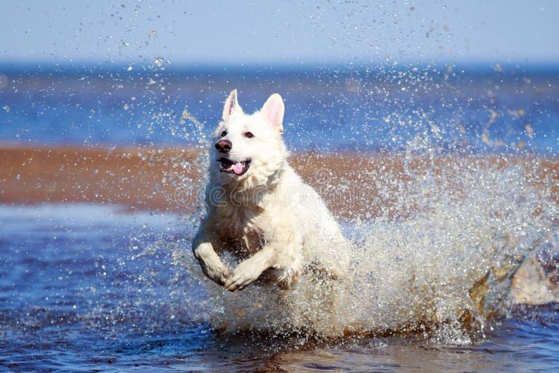 Download White Swiss Shepherd Dog stock photo. Image of blanc - 32053700