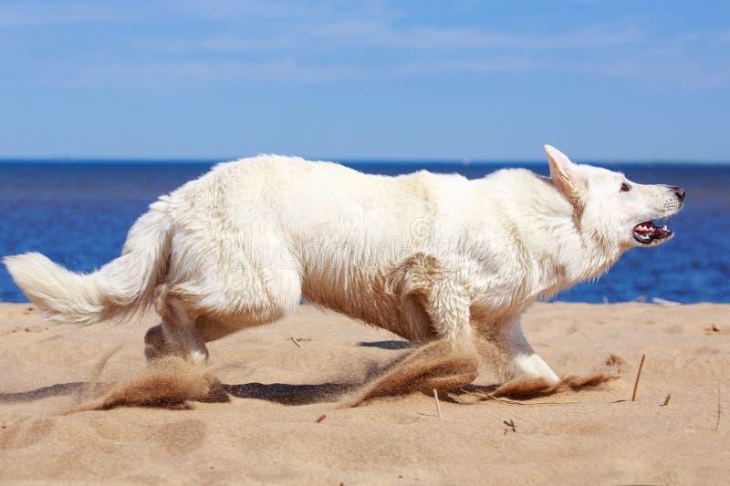 Download White Swiss Shepherd Dog stock image. Image of shepherd - 32053995