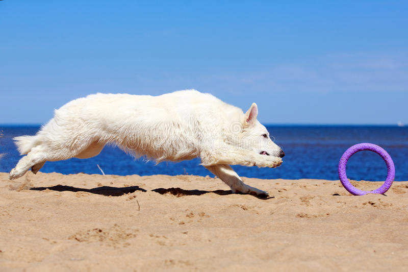 Download White Swiss Shepherd Dog stock photo. Image of blanc - 32054110