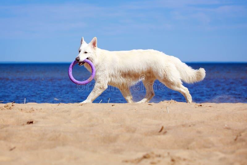 Download White Swiss Shepherd Dog stock image. Image of shepherd - 32054191