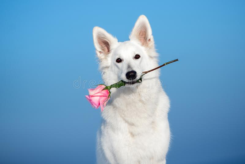 White shepherd dog holding a pink rose flower in her mouth. White swiss shepherd dog outdoors royalty free stock photo