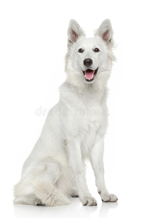 White Swiss Shepherd Dog On White Background Stock Image