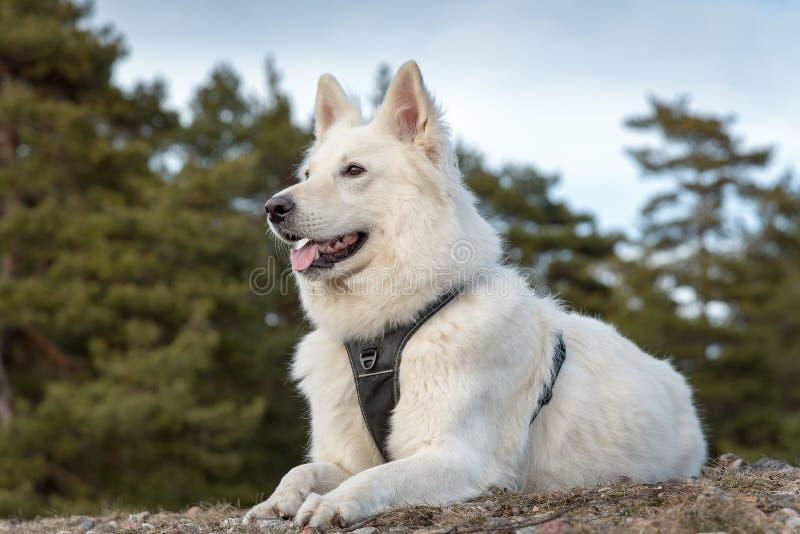 White swiss shepherd stock images