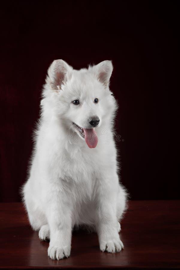 White swiss shepherd puppy royalty free stock image