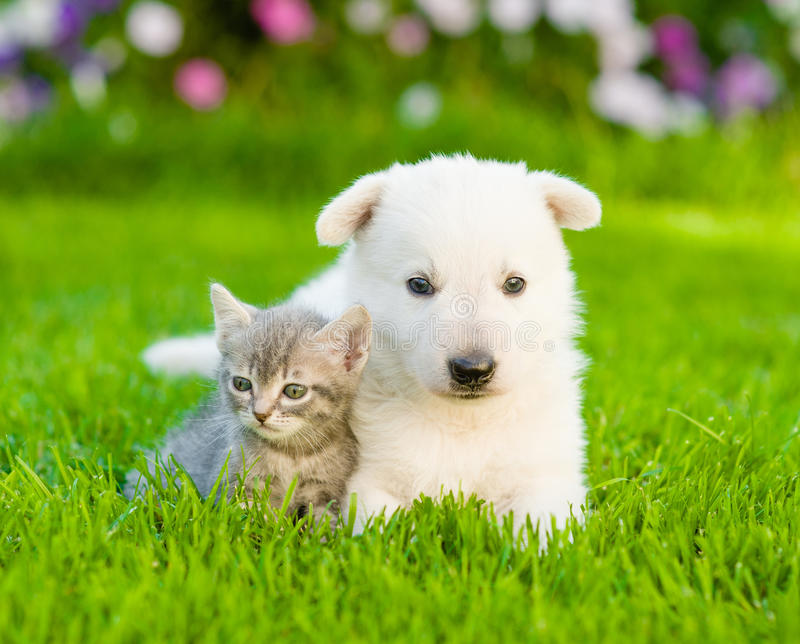 White Swiss Shepherd`s puppy and kitten lying together on green grass royalty free stock photo
