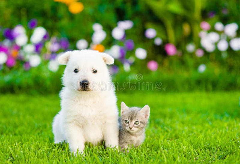 White Swiss Shepherd`s puppy and kitten sitting together on green grass royalty free stock photo