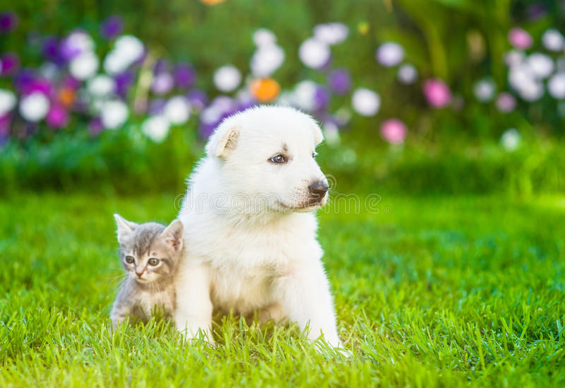 White Swiss Shepherd`s puppy and kitten sitting together on green grass royalty free stock image