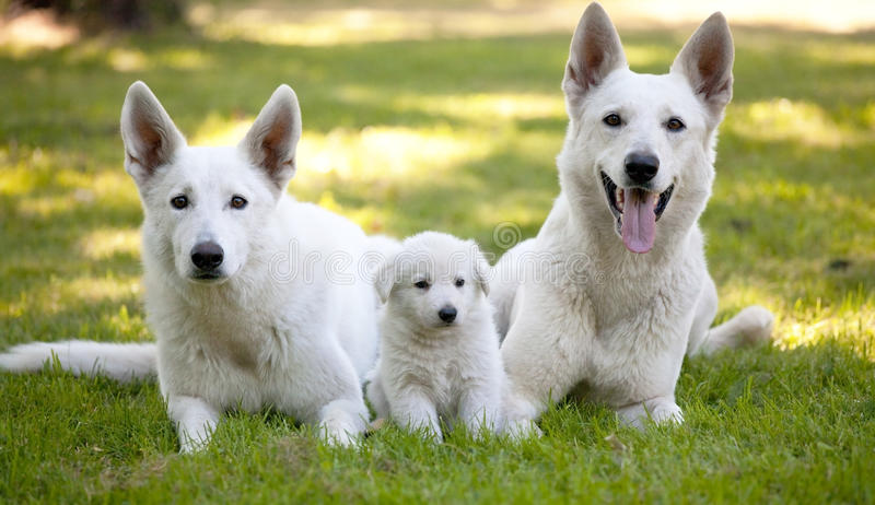 White Swiss Shepherds with little puppy royalty free stock photo