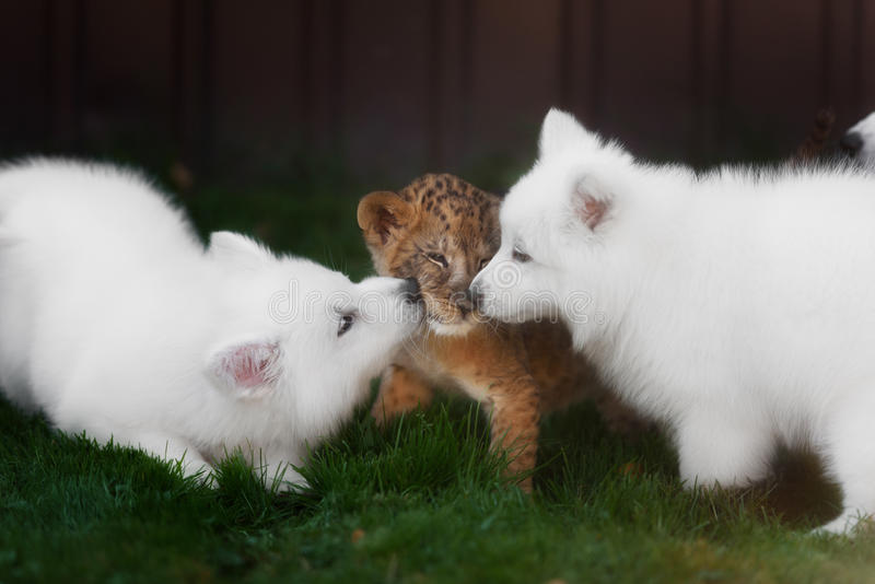 White Swiss Shepherds puppy and lion cub stock images