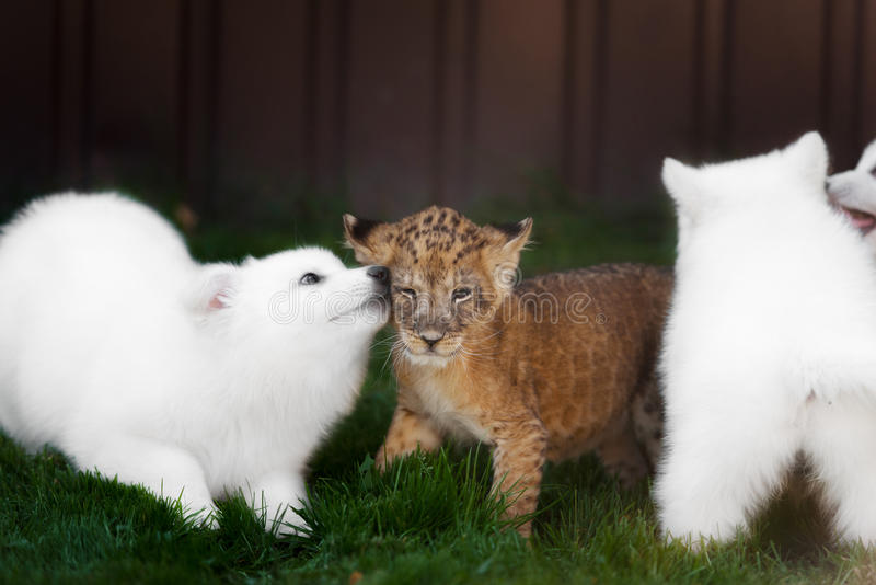 White Swiss Shepherds puppy and lion cub stock image