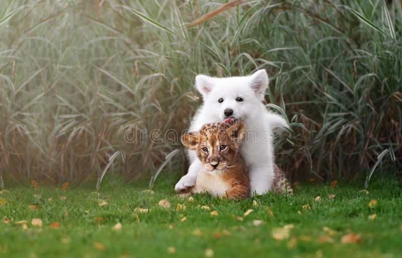 White Swiss Shepherds puppy and lion cub stock photography