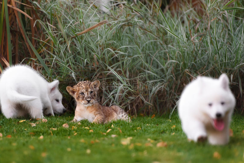 White Swiss Shepherds puppy and lion cub royalty free stock photos