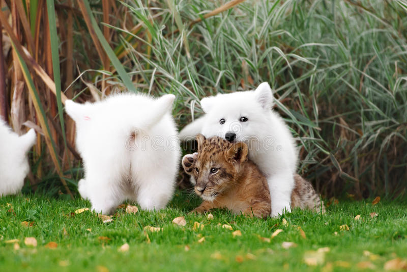 White Swiss Shepherds puppy and lion cub royalty free stock photo