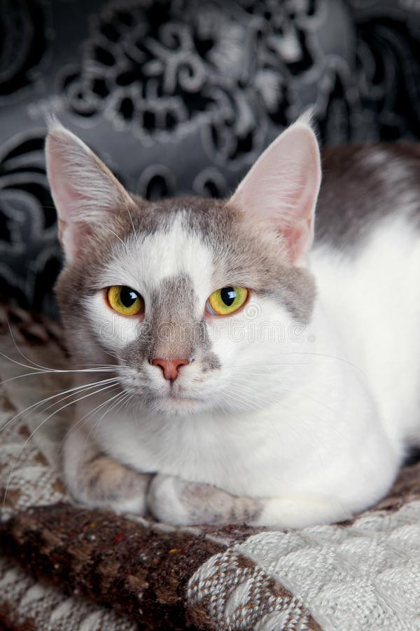White-tabby cat. A cute white and tabby cat at home royalty free stock image