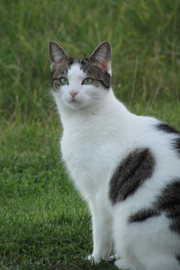 White tabby cat royalty free stock image