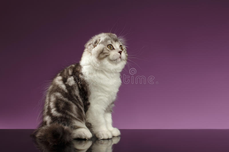 White Tabby Scottish Fold Kitten Sits and Looking up royalty free stock photography