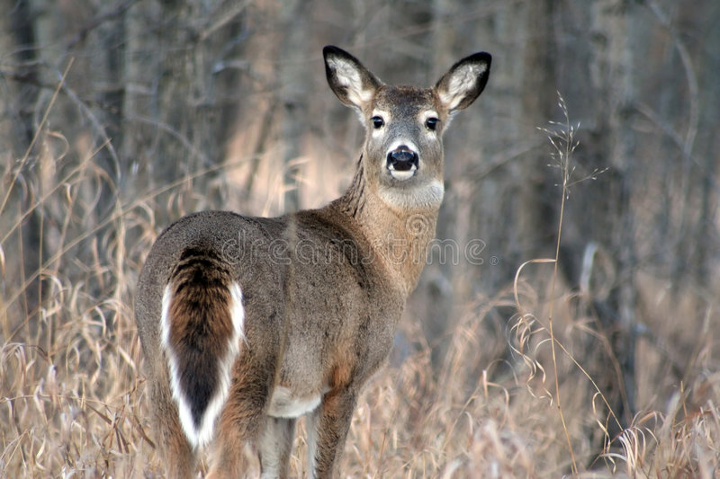 Download White Tail Deer stock image. Image of freedom, gaze, gray - 4054947