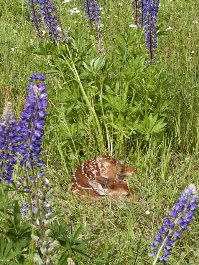 White-tail deer fawn sleeping in lupine meadow. Cute little white tail deer fawn asleep in a meadow of purple lupine wildflowers stock images