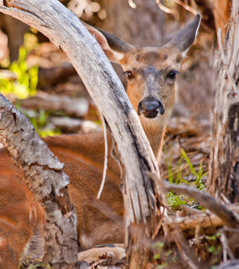White Tail Deer Hiding In Brush Royalty Free Stock Photography