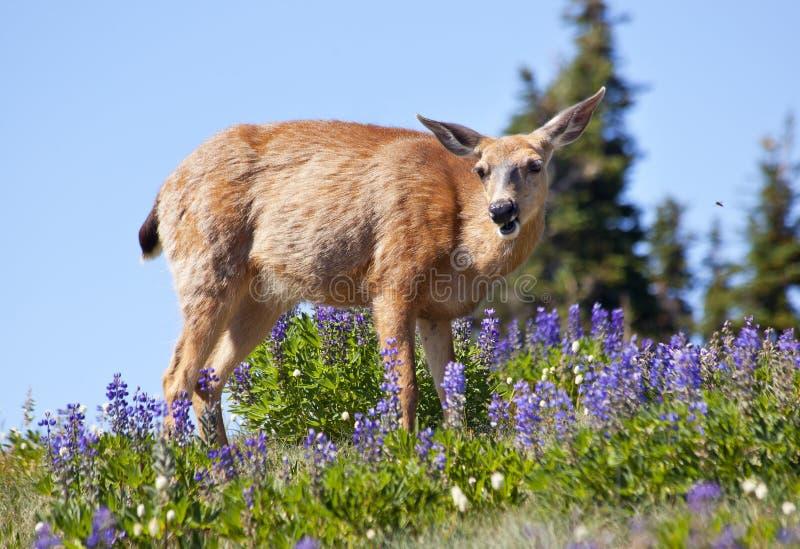 Download White Tail Deer Purple Lupine Hurricane Ridge Stock Image - Image: 16695489