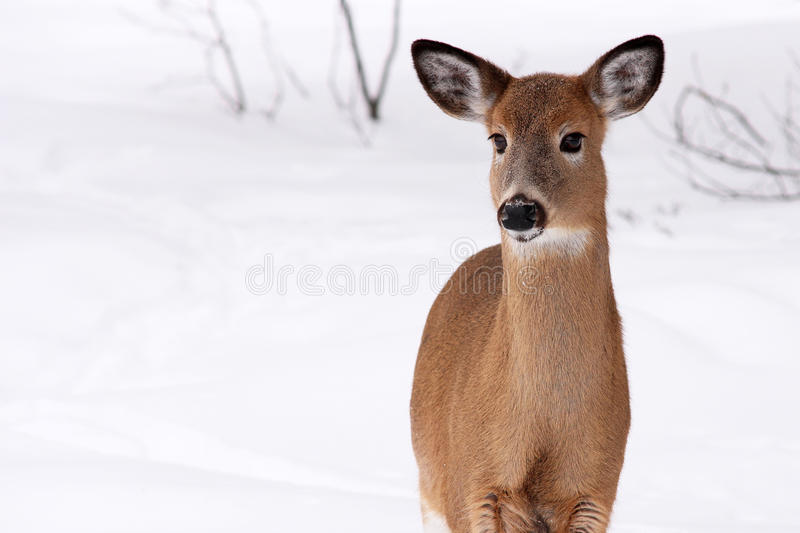 White-tailed deer in the snow stock photo