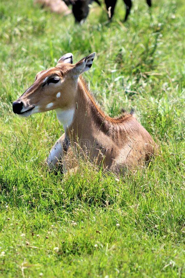 Parc Park Safari, Hemmingford, Quebec, Canada. White tail deer, spotted fawn, at the Parc Park Safari, located in Hemmingford, Quebec, Canada stock photos