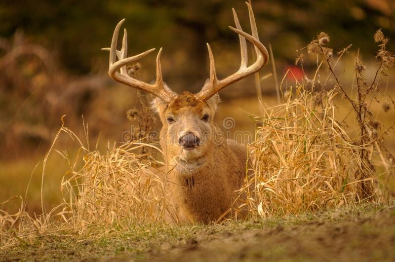 White tail deer staying low during hunting season. 3/5. White tail deer staying low during hunting season, 3 stock image
