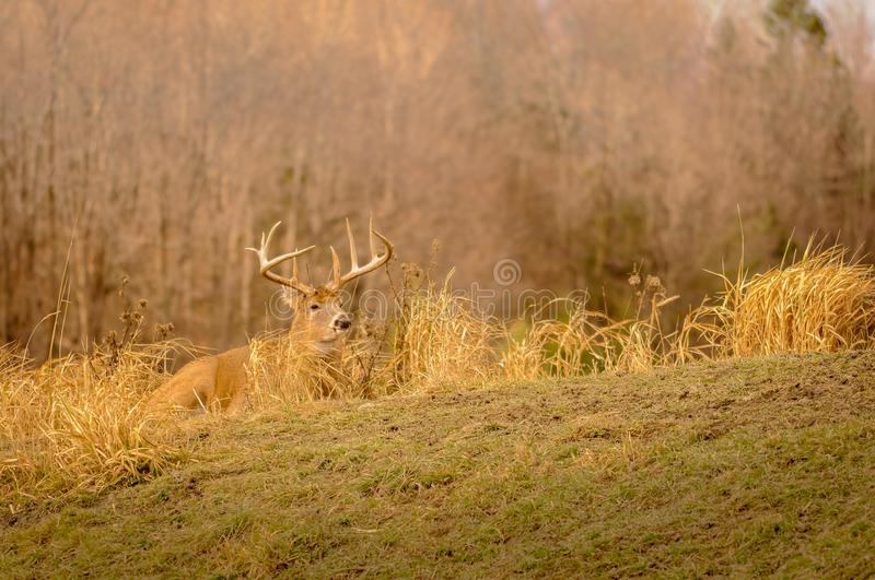 White tail deer staying low during hunting season. 2/5.  royalty free stock photography
