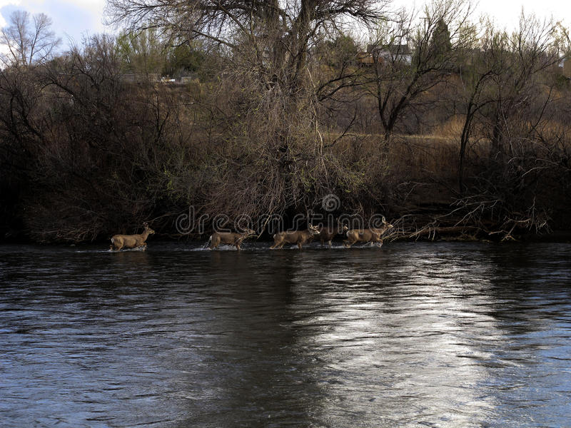 White Tail Deer Wade in the Arkansas River Near Pueblo, Colorado stock images