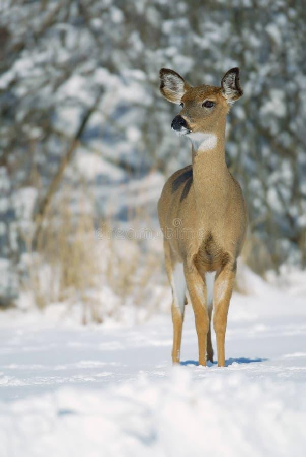 Free White Tail Doe In Snow Stock Photos - 9935693
