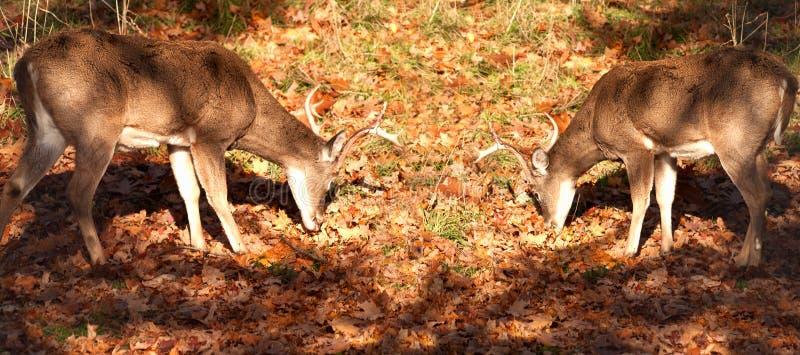 White-tailed Bucks Stock Photos