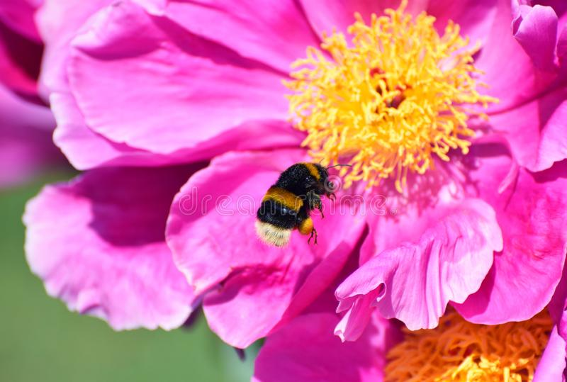 Bumble bee in flight next to a pink peony flower. White tailed bumble bee hovering, just about to land on a giant pink and yellow peony flower stock image