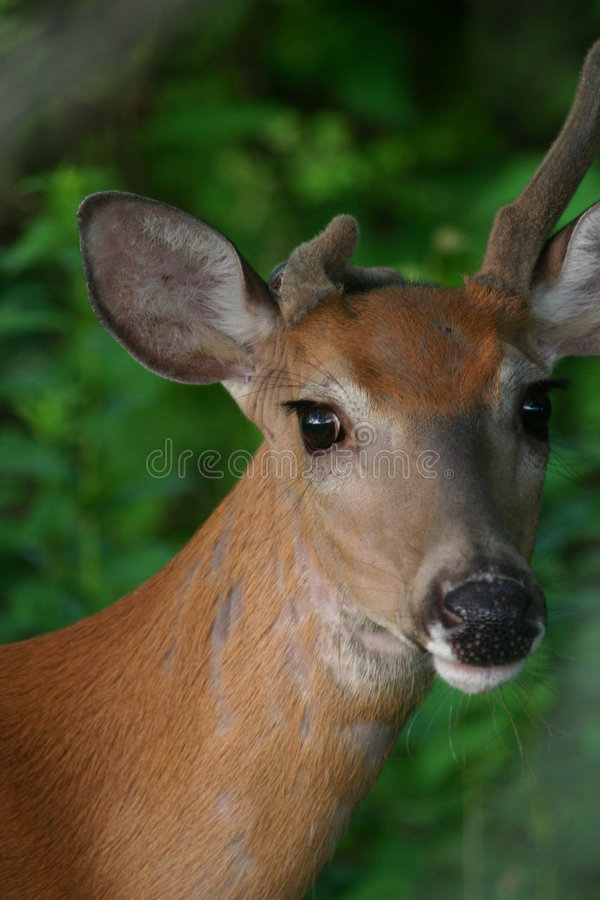 Download White tailed deer stock image. Image of cute, wildlife - 1279271