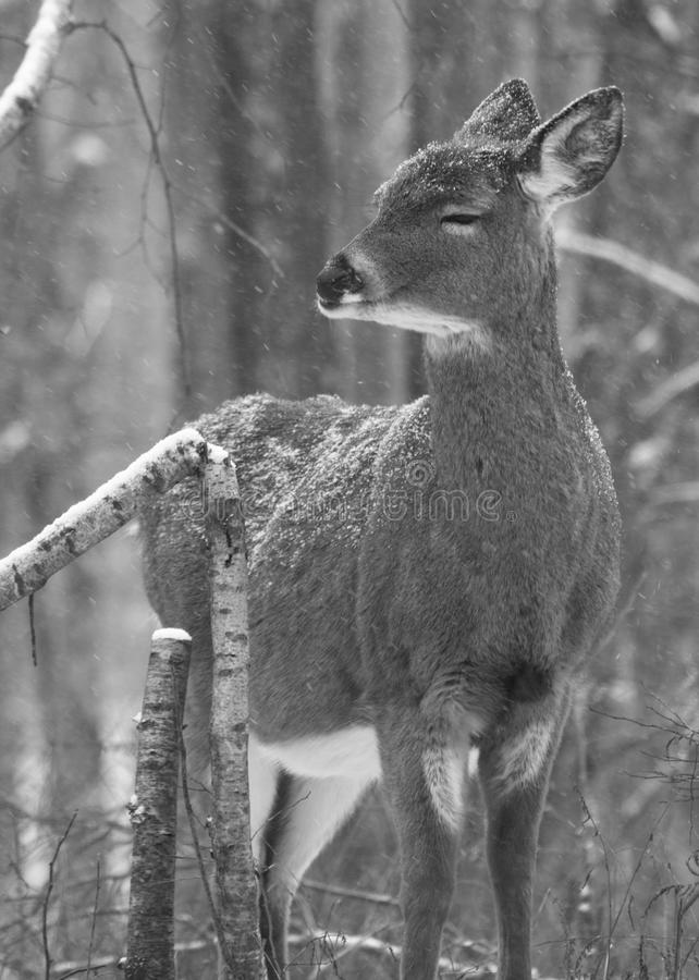 Download White-tailed Deer stock photo. Image of cute, white, black - 13024540