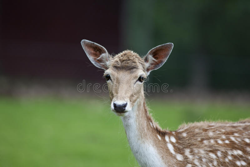 Download White Tailed Deer stock photo. Image of outdoors, fawn - 20401460
