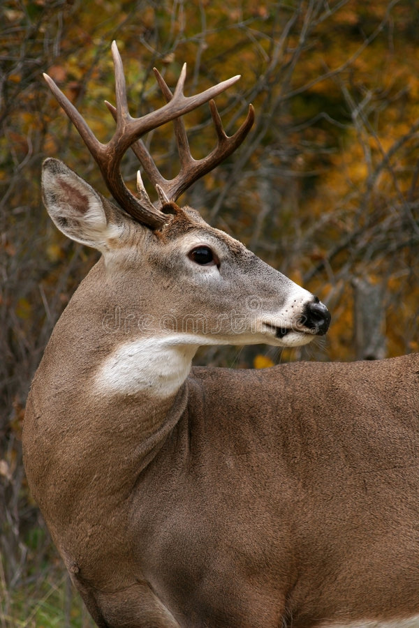 Free White Tailed Deer Stock Images - 2146624