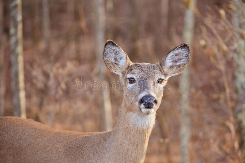 White Tailed Deer. A portrait of a doe (female deer) with large brown eyes and long eyelashes. This is a White Tailed deer there is copy space stock photos