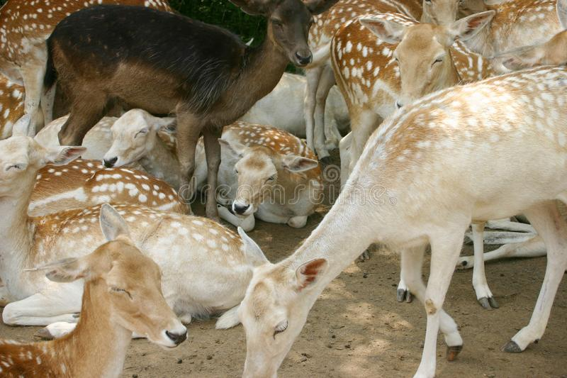 Download White Tailed Deer stock image. Image of canada, white - 6812289