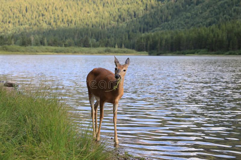 white-tailed deer at a alpine lake, Glacier National Park, Montana,USA royalty free stock photos