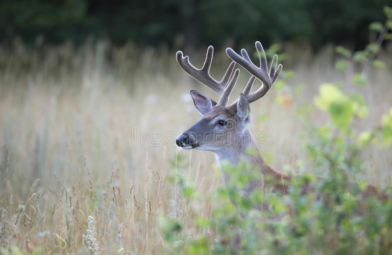 A White-tailed deer buck in the early morning light with velvet antlers in summer in Ottawa, Canada stock photography