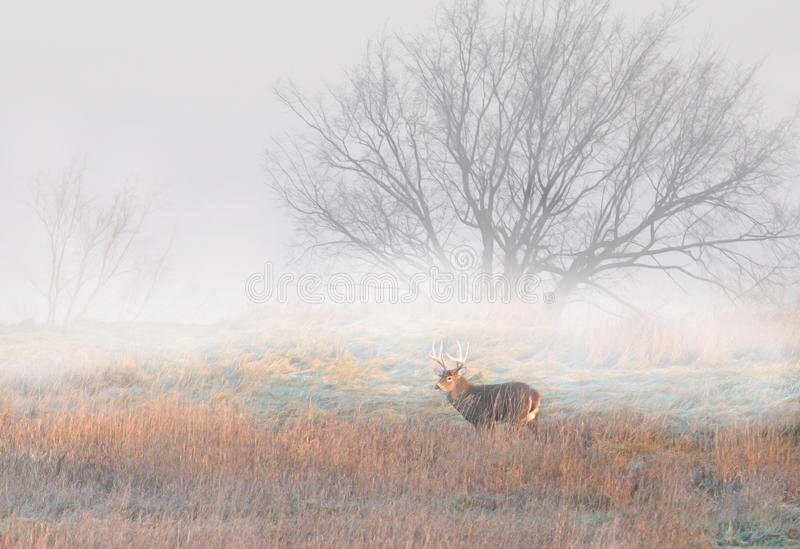 Download White-tailed deer buck stock image. Image of large, background - 83187133
