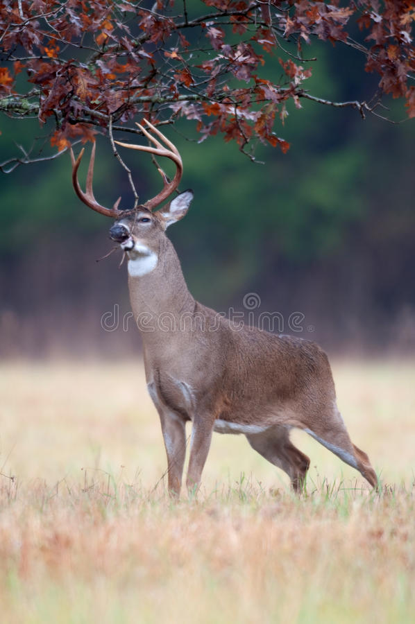 Free White-tailed Deer Buck Rut Behavior Royalty Free Stock Image - 18467826