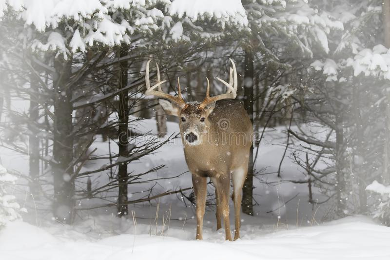 A White-tailed deer buck standing in a field in winter snow in Canada royalty free stock photography
