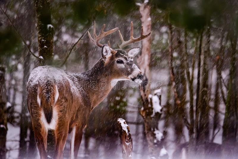 White tailed deer buck standing in forest with falling snow stock photo