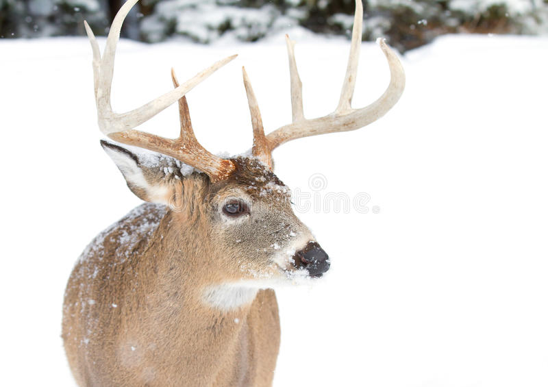 White-tailed deer buck isolated on white background standing in the falling snow in Canada stock photos
