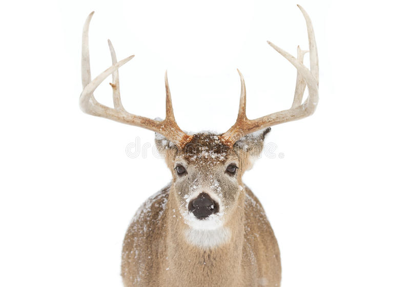 White-tailed deer buck isolated on white background standing in the falling snow in Canada stock images