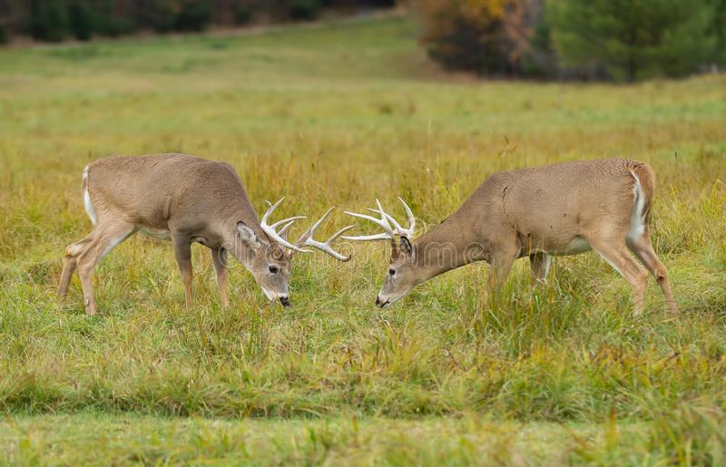 2 White-tailed deer bucks fighting during the rut in autumn royalty free stock photography