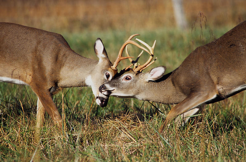 White Tailed Deer Bucks Sparring. A pair of White Tailed Deer bucks sparring each other in a field royalty free stock photography