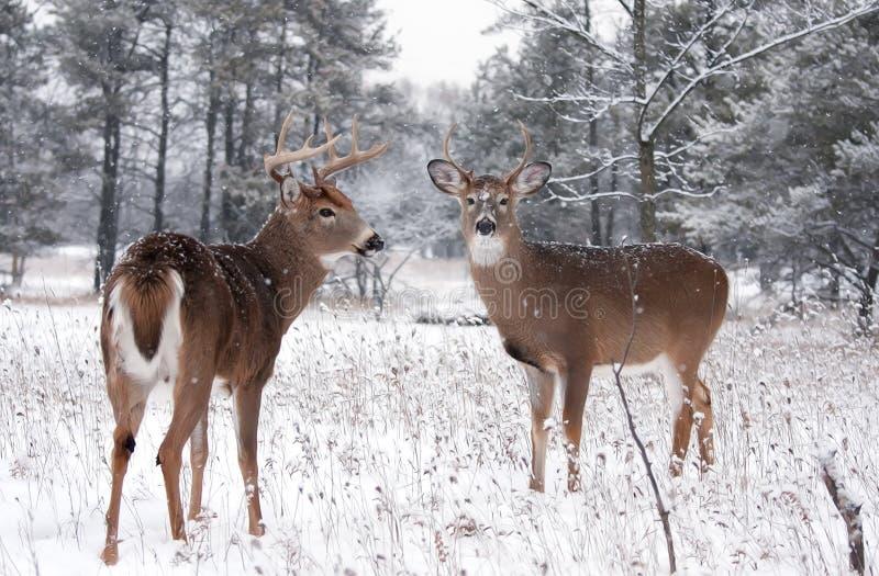 White-tailed deer bucks in winter royalty free stock photos